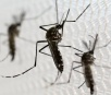 'Aedes aegypti' pode infectar cães